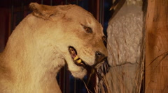 Taxidermy of lioness hunting zebra Stock Footage
