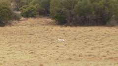 Deer running in grassland of ranch - stock footage