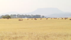 Herd of antelope in grassland of ranch Stock Footage