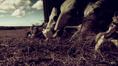 Close-up of animals skull in farm Stock Footage