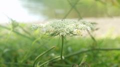Yarrow flower achillea millefolium Stock Footage