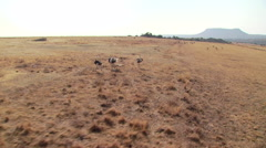 Ostriches running in grassland of ranch Stock Footage