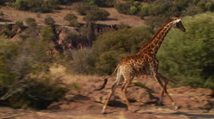 Giraffe running in grassland of ranch Stock Footage