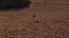 Wildebeest running in grassland of ranch Stock Footage
