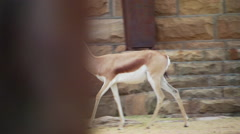 Antelope running around house in ranch Stock Footage