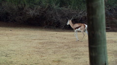 Antelope grazing in field at ranch Stock Footage