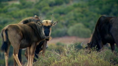 Wildebeests grazing in field at ranch Stock Footage