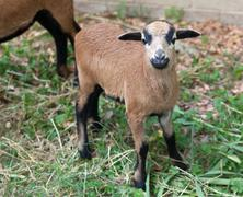 Young sheep of Cameroon - stock photo