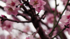 Video of pink tree blossoms shot in Israel. Stock Footage