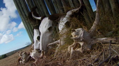 Close-up of animals skull in farm - stock footage