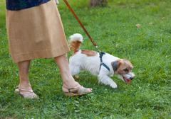Dog that pulls the leash of elderly owner. Stock Photos