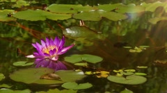Lily with green pad in pond Stock Footage