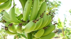 Bananas on the tree 1 Stock Footage