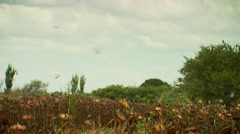 Flock of doves flying over sunflower field Stock Footage