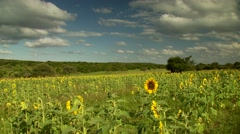 View of sunflower field Stock Footage