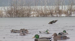 Duck injured after being shot by hunter Stock Footage