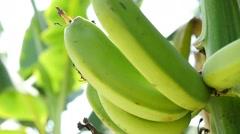 bananas on the tree 2 - stock footage