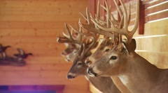 Deer taxidermy on wall Stock Footage