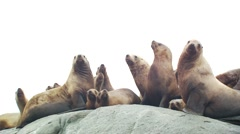 Group of sea lions on rock in Surrey Stock Footage