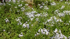 White flowers in garden of Wyndham Ka 'Eo Kai Stock Footage
