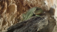 Lizard in the terrarium 1 Stock Footage