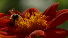 Bee collecting pollen from bright red flower Stock Footage