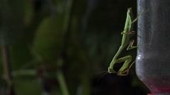 Praying Mantis and Hummingbird Behaviors 001 Stock Footage