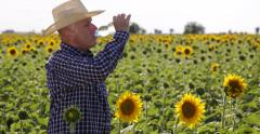 Sweating American Farmer Study Sunflower Grows Crops Thirsted Drink Cold Water Stock Footage