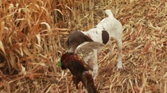 Dog carrying an injured pheasant to hunter - stock footage