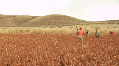 Hunters taking aim and shooting on pheasant while hunting - stock footage