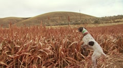 Dogs carrying an injured pheasant to hunter - stock footage