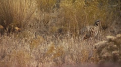 Pheasant grazing in ranch Stock Footage