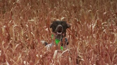 Dog observing while hunting pheasant in ranch Stock Footage