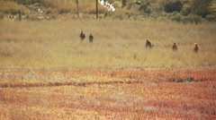 Group of hunters walking in ranch for pheasant hunting - stock footage