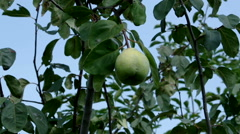 Quince fruit Cydonia oblonga Stock Footage
