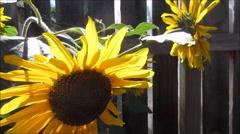 Beautiful sunflowers shinning over dark wooden fence Stock Footage