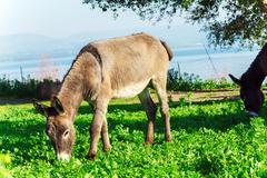 Cute Donkey Eating Green Grass near Lake - stock photo
