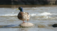 4K Mallard Duck perches on one leg Stock Footage