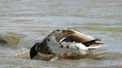 4K Male Mallard Duck Hunting Stock Footage