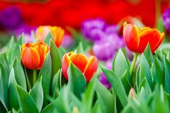 Three Orange Tulip in garden Stock Photos
