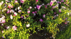 Flower bed of roses Stock Footage