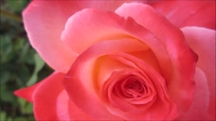 Pink rose, beautiful and fresh after rain, close up Stock Footage