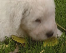Komondor pup in grass - close up Stock Footage