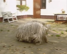 Komondor adult dogs playing in courtyard Stock Footage