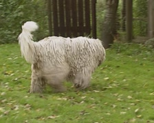 Komondor adult dog roaming in garden Stock Footage