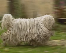 Komondor adult dog runs in courtyard - tracking shot Stock Footage
