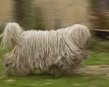 Komondor adult dog runs in courtyard - tracking shot - stock footage