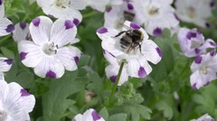 Bumblebee in a flower Stock Footage