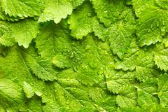 Lemon balm leaves folded over each other with water drops. - stock photo