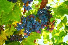 Bunch of blue grapes Stock Photos
